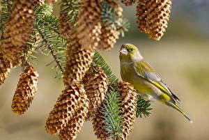 Фото Птица Ветвь Шишка Chloris chloris Животные