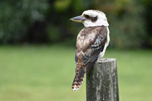 Фотографии Птица Боке Kookaburras животное