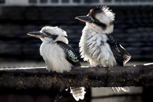 Картинка Птица Две Kookaburras Животные