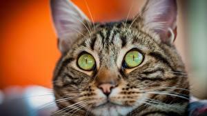 Картинки Коты Смотрят Морда Удивление животное