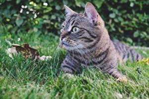 Фотографии Кошка Трава Смотрит Лежачие животное