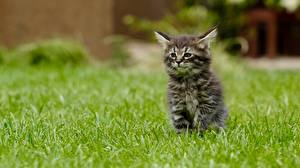 Картинка Кошка Траве Котята Размытый фон Сидит Животные