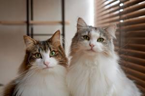 Обои Коты 2 Пушистая Взгляд животное