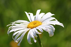 Фотография Крупным планом Ромашка Боке Белых цветок