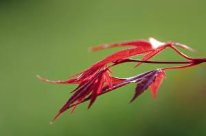 Картинки Крупным планом Листья Красные Размытый фон Клён Природа