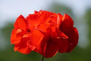Фотография Вблизи Герань Красные Размытый фон цветок