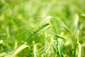 Фотография Вблизи Макросъёмка Боке Колосок Barley