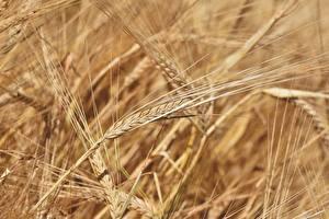 Фотография Крупным планом Много Размытый фон Колосок barley