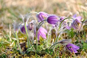 Фотография Вблизи Прострел Боке Фиолетовые цветок