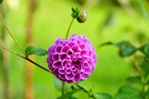 Фотография Георгины Крупным планом Размытый фон Бутон Розовый Цветы