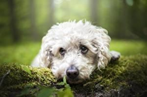 Фотографии Собаки Размытый фон Мох Морда Взгляд Пуделя животное