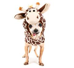 Картинка Собака Кенгуру Одежда Белый фон Чихуахуа Униформе животное