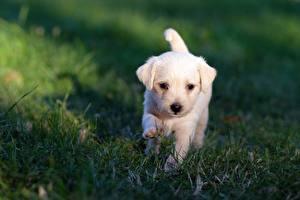 Фото Собаки Лабрадор-ретривер Щенка Белая Траве Боке Животные