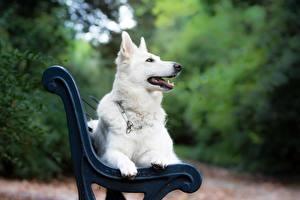 Картинки Собака Скамейка Белая Овчарка White Swiss Shepherd Dog Животные
