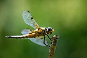 Обои Стрекозы Насекомое Крупным планом dragonfly Животные