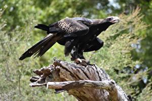 Фото Орлы Птица Черная Размытый фон Wedge-tailed eagle Животные