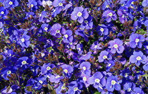 Фотографии Много Фиолетовая Aubretia цветок