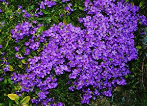 Обои Много Фиолетовый Aubretia Цветы картинки