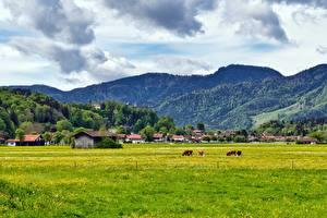 Картинки Гора Луга Корова Германия Деревня Бавария Aschau im Chiemgau, Rosenheim Природа