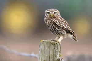 Фотография Сова Птица Взгляд Размытый фон Little Owl животное