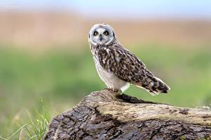 Картинка Совы Птица Смотрит Боке Short-eared Owl