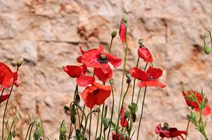 Фотографии Маки Боке Бутон Красные цветок