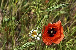Фотография Маки Красная Бутон Цветы