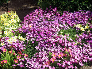 Обои для рабочего стола Первоцвет Много Aubretia Цветы