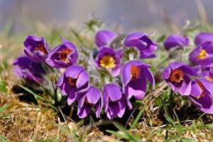 Фотография Прострел Вблизи Фиолетовый Цветы