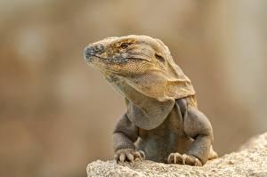 Картинка Рептилии Игуана Головы Лапы Смотрит животное