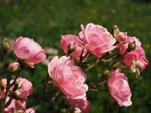 Обои Роза Крупным планом Бутон Боке Розовых Цветы