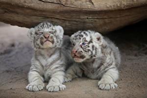 Фото Амурский тигр Детеныши Двое Лапы Лежит животное