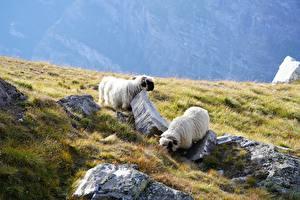 Фото Камень Овцы Траве 2 животное