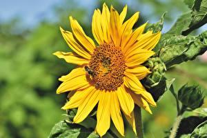 Обои Подсолнечник Пчелы Насекомые Боке Желтый цветок