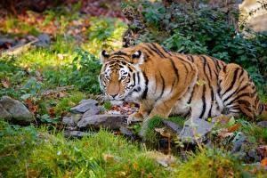 Обои Тигры Камни Ручей Трава Взгляд Животные картинки