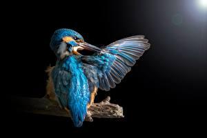 Фотографии Птицы Обыкновенный зимородок Крылья Черный фон животное