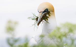 Обои Птицы Клюв Головы Northern Gannet животное