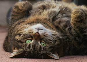 Фотография Кошки Смотрит Жирный Морда животное