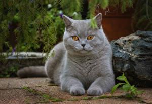 Обои Кот Взгляд Серый Лапы животное