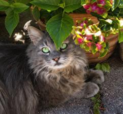 Картинки Коты Смотрит Морды Серая Животные