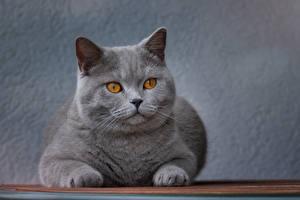 Обои Кошки Серый Смотрят Морда Животные
