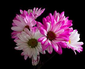 Фотографии Хризантемы Крупным планом На черном фоне цветок