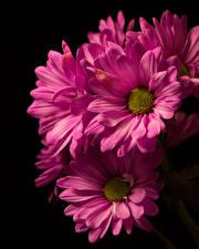 Обои Хризантемы Крупным планом На черном фоне Розовый