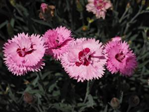 Фотография Крупным планом Гвоздики Боке Розовая Цветы