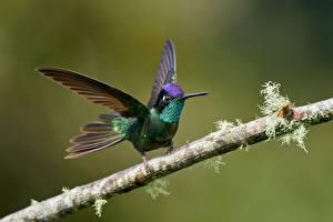Фотография Колибри Птицы На ветке животное