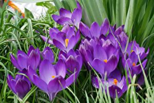 Фотографии Крокусы Крупным планом Фиолетовых Цветы