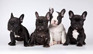 Картинки Собака Французский бульдог Сером фоне Щенок Сидящие Смотрит Четыре 4 Животные