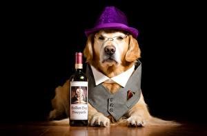 Картинка Собака Шляпе Очках Смотрят Лапы Бутылка Смешные Лабрадор-ретривер животное