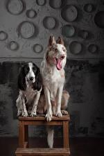 Фотография Собака Двое Бордер-колли Спаниель Языком животное