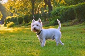 Фото Собаки Белые Вест хайленд уайт терьер Животные